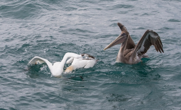Gannet fight over fish