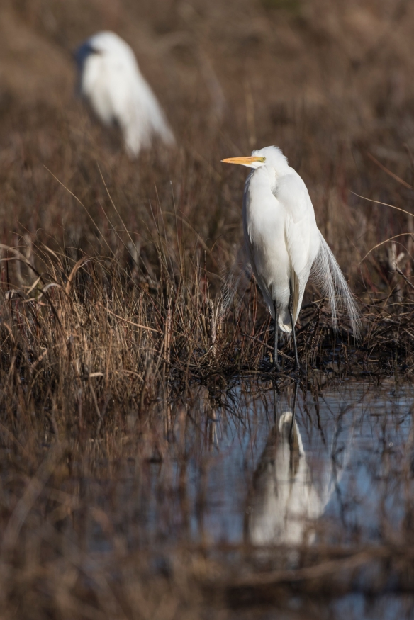 grat egret and reflection
