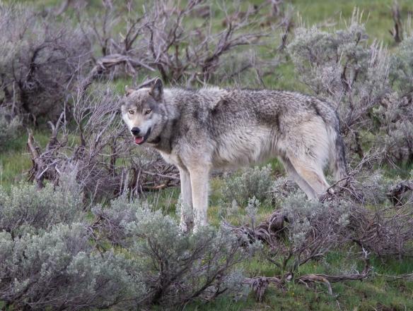 gray wolf male 2