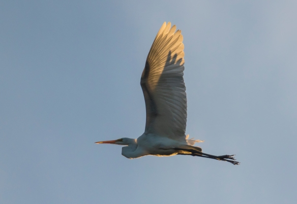 Great egret flying at sunset 1
