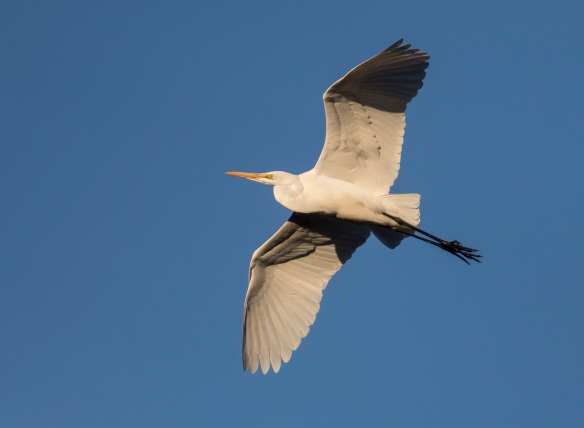 Great egret flying at sunset 2