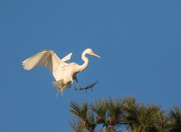 Great egret landing in top of pine