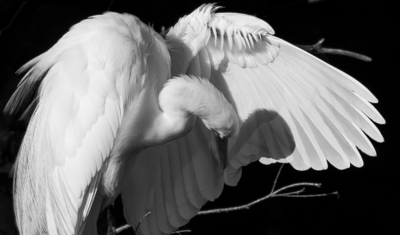 Great egret preening in black and white
