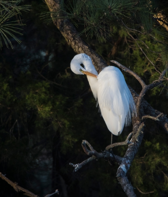Great egret preening in golden light