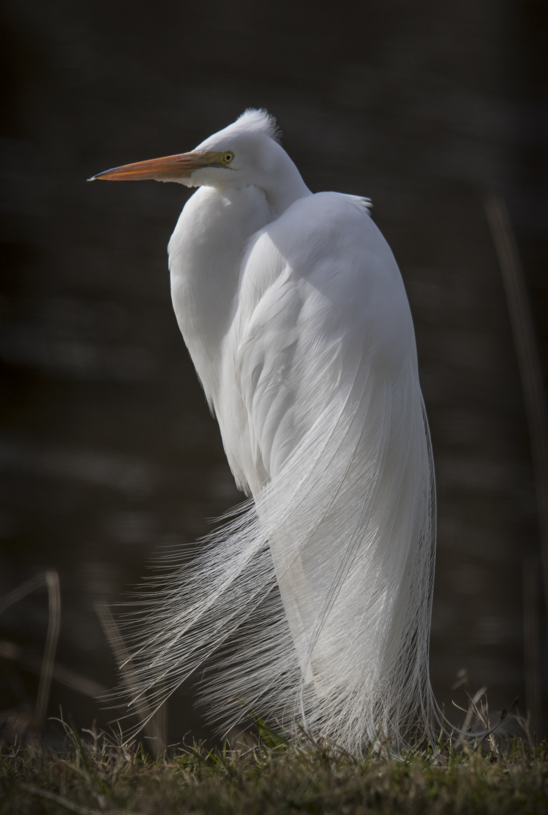 Great egret with plumes 1