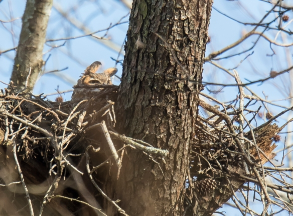 great horned owl nest close up
