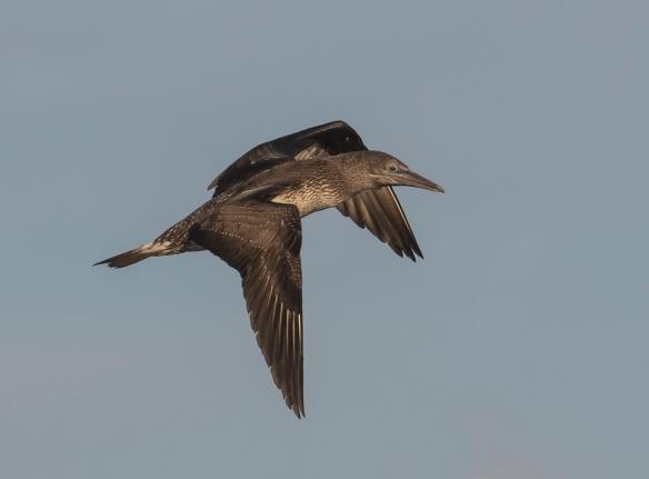 Immature northern gannet
