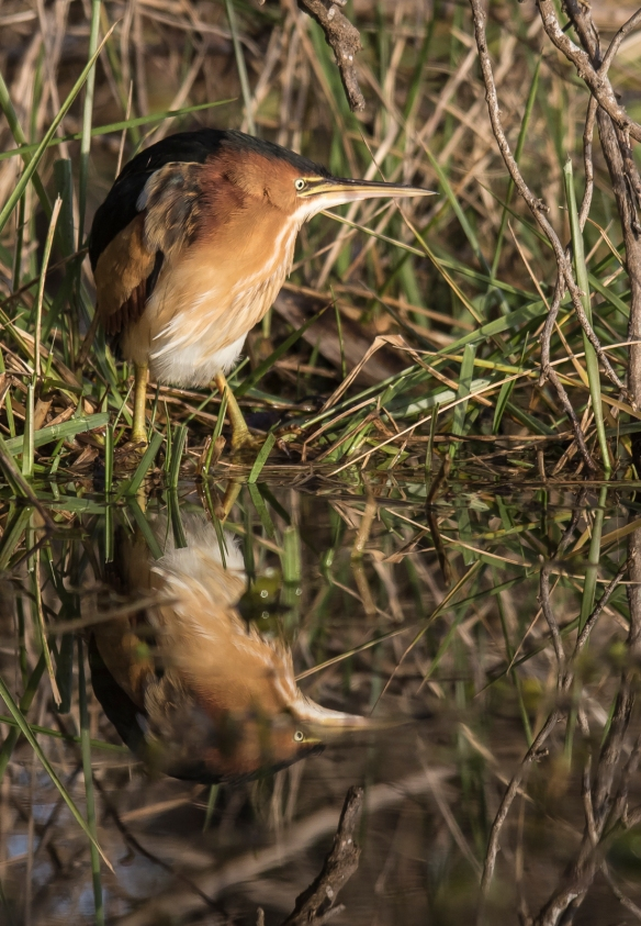 least bittern and reflection 1