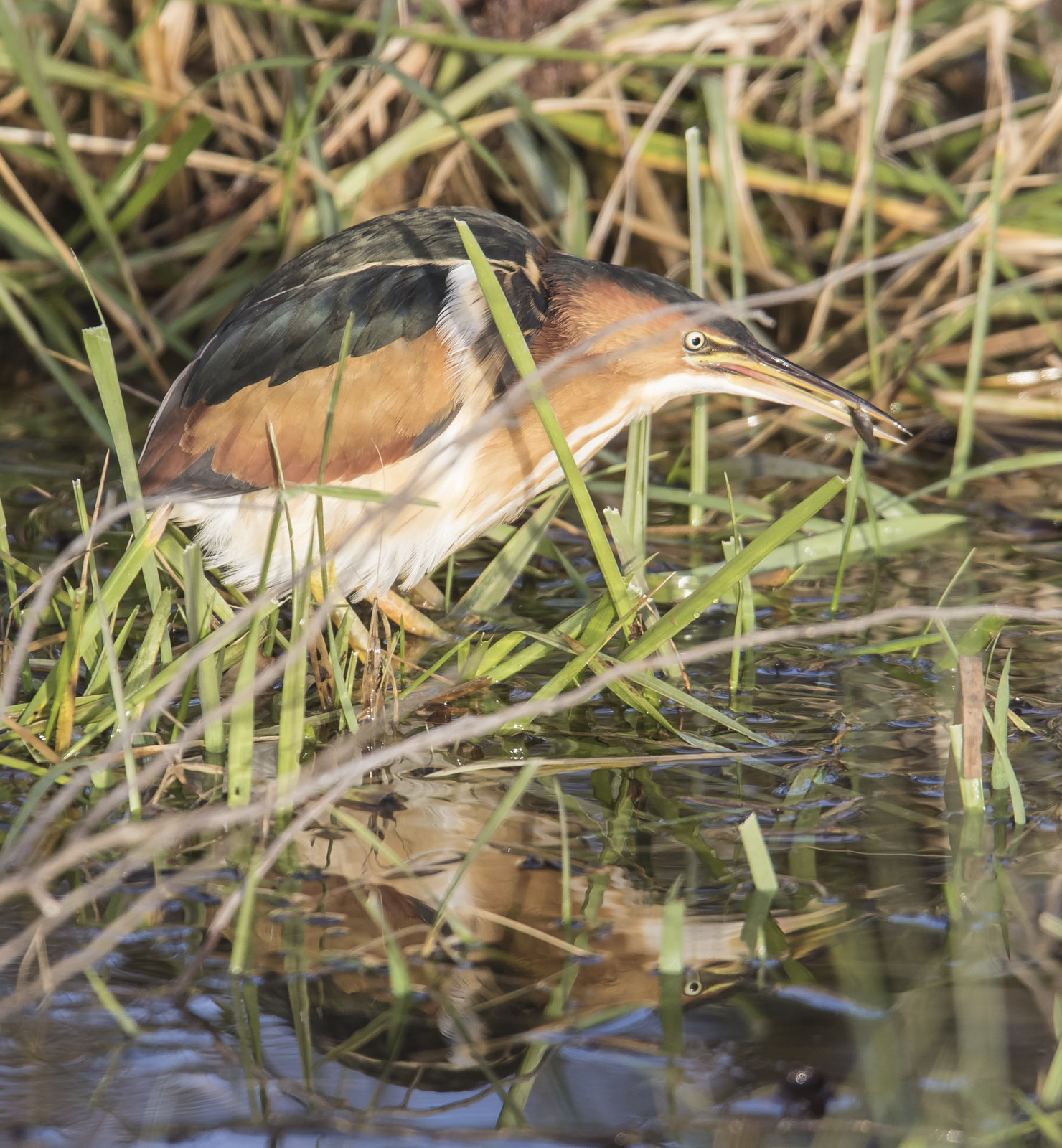 least bittern with fish