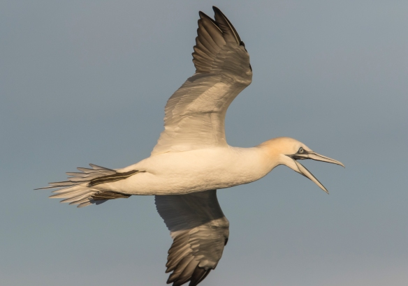 Northern gannet at sunrise with bill open