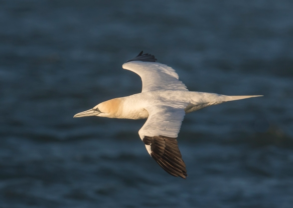 Northern gannet at sunrise