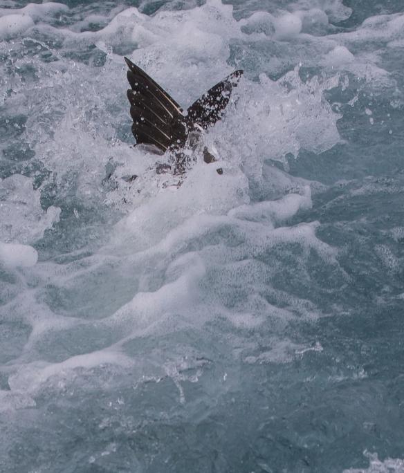 Northern Gannet dive 11