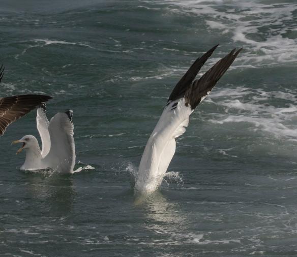 Northern Gannet dive 14