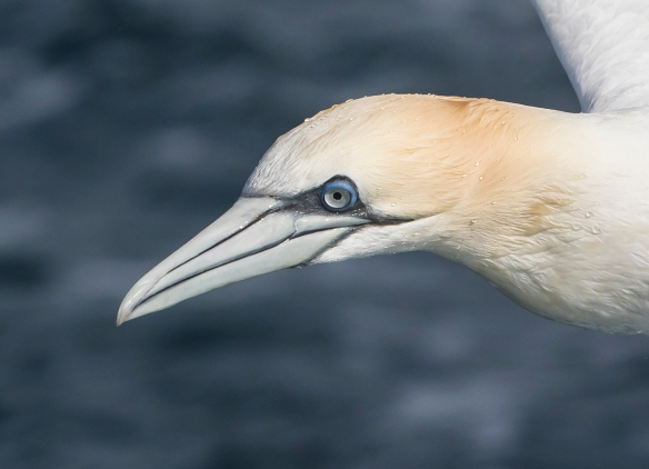 Northern Gannet head close up