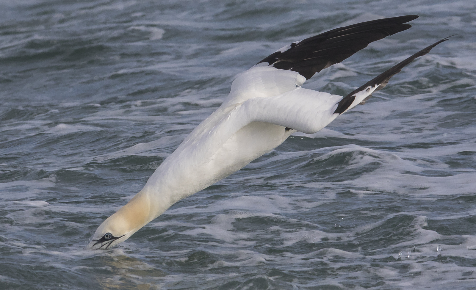 Northern Gannet  just at impact with ocean
