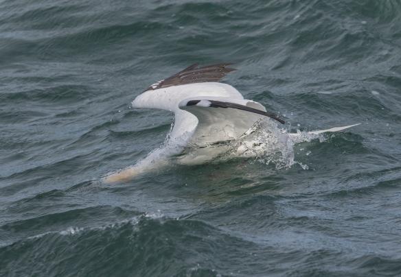 Northern Gannet landing on water 1
