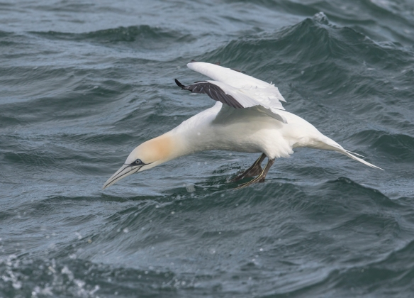 Northern Gannet landing on water