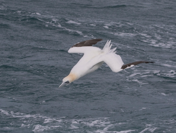Northern Gannet looking to dive 1