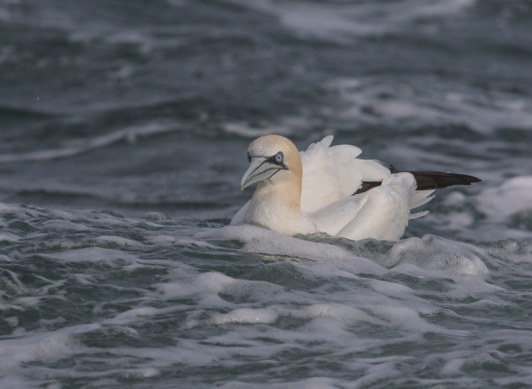 Northern Gannet sitting on water