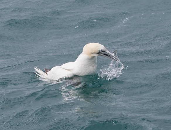 Northern Gannet swallowing fish