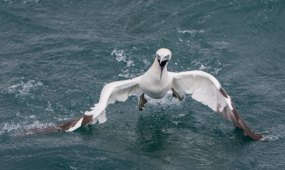 Northern Gannet swallowing lifting off water