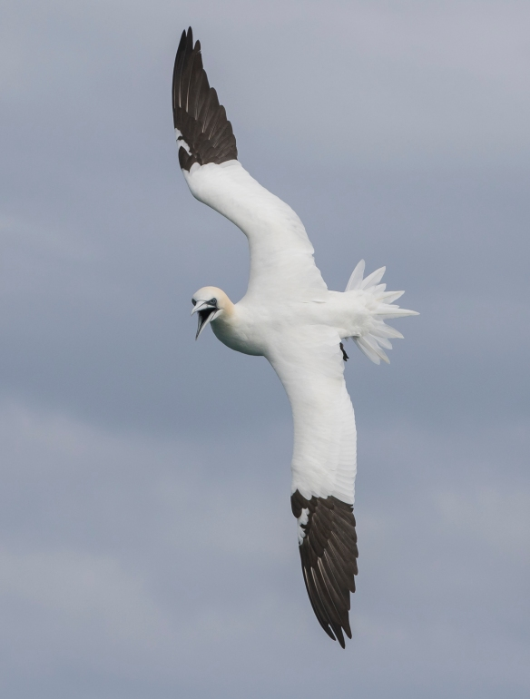 Northern Gannet turning to dive 1