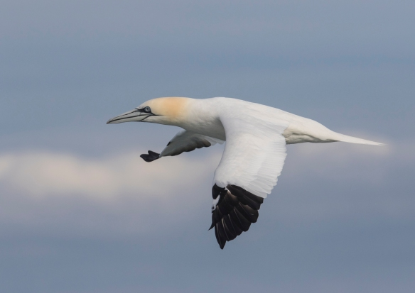 Northern Gannet with sky and clouds 2