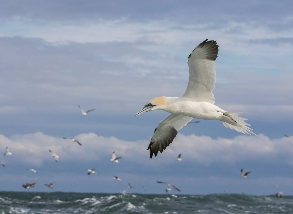 Northern Gannet  with sky, ocean, and clouds