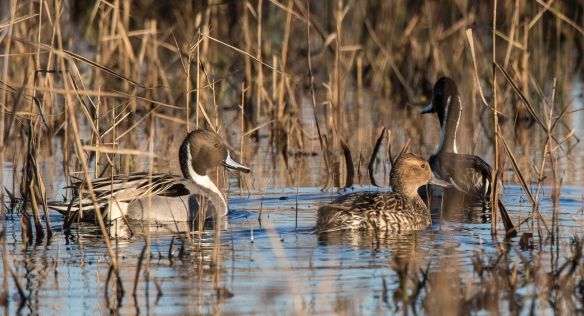 Northern Pintails in marsh