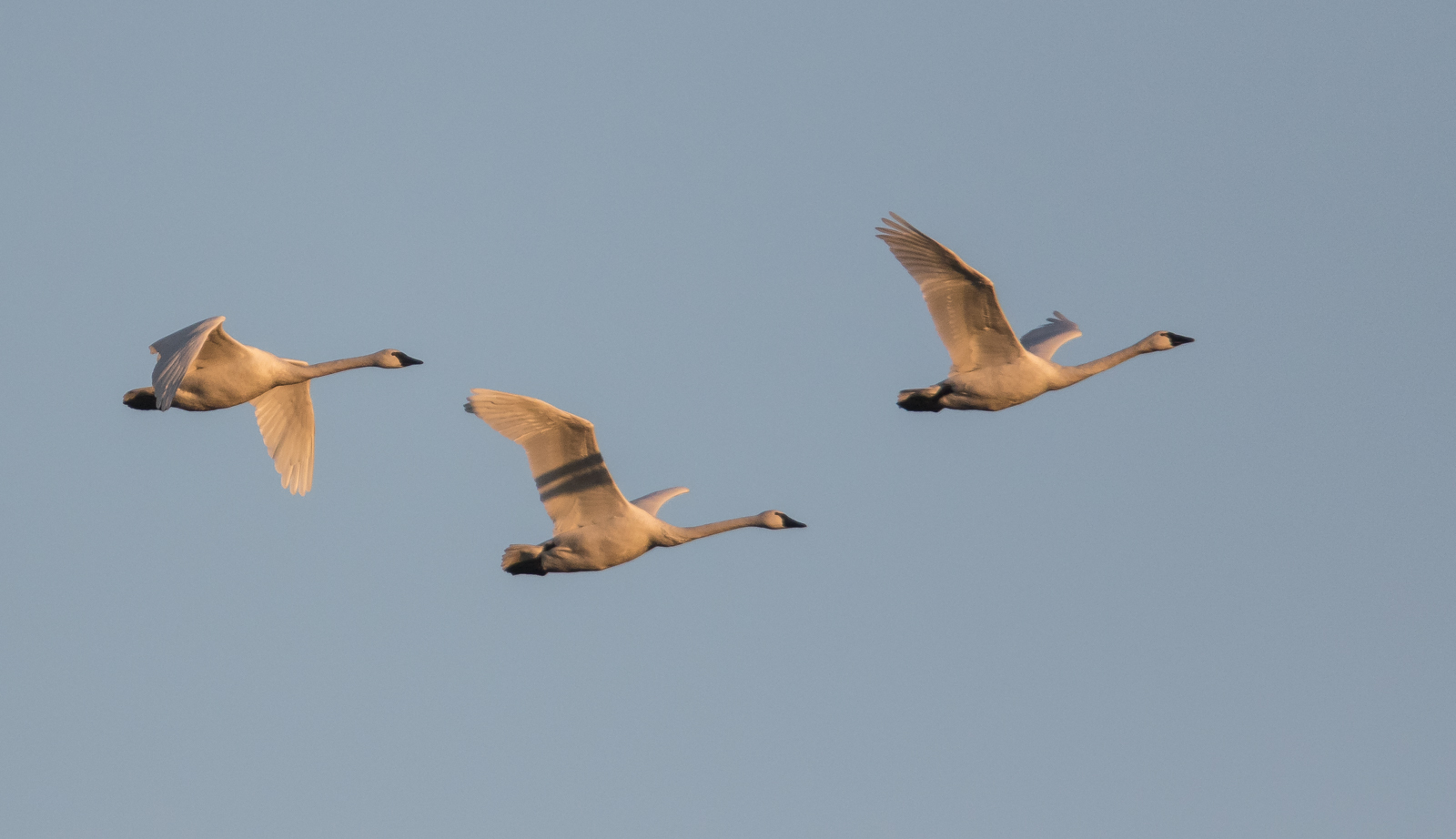Great Day For Tundra Swans On Lake >> mattamuskeet national wildlife refuge | Roads End Naturalist
