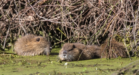 Trio of young nutria