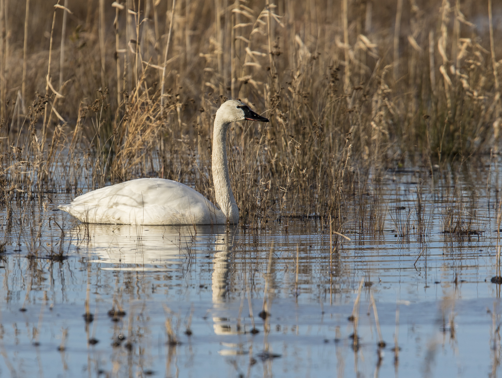 tundra swan in impoundment