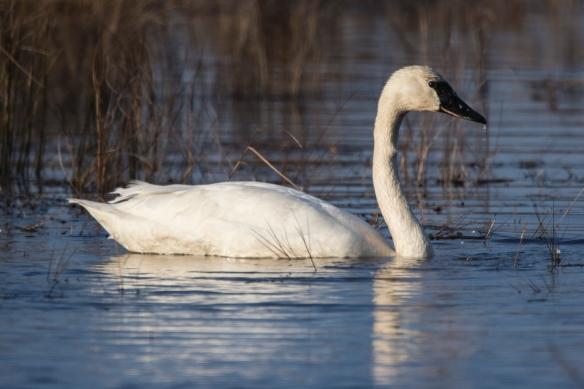 tundra swan in marsh