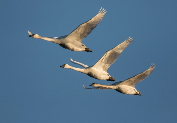 tundra swans in morning light