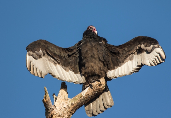 turkey vulture with wings spread 1