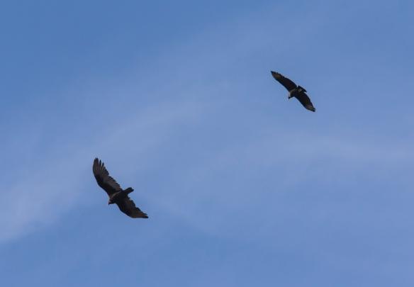 vulture comparison