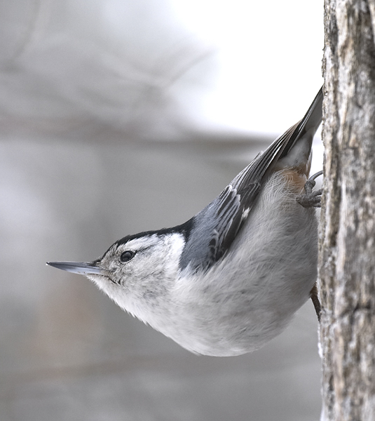 White-breasted nuthatch on tree trunk