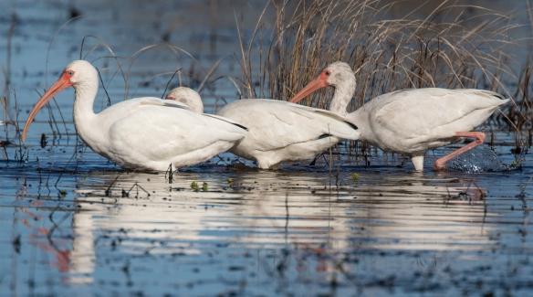 white ibis feeding 1