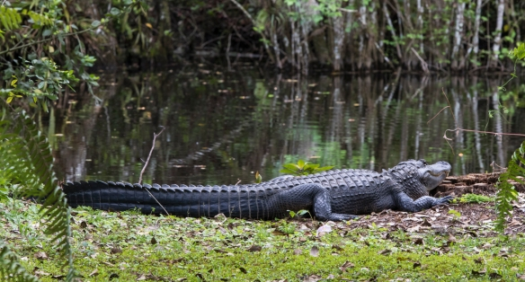 Alligator at Big Cypress 1