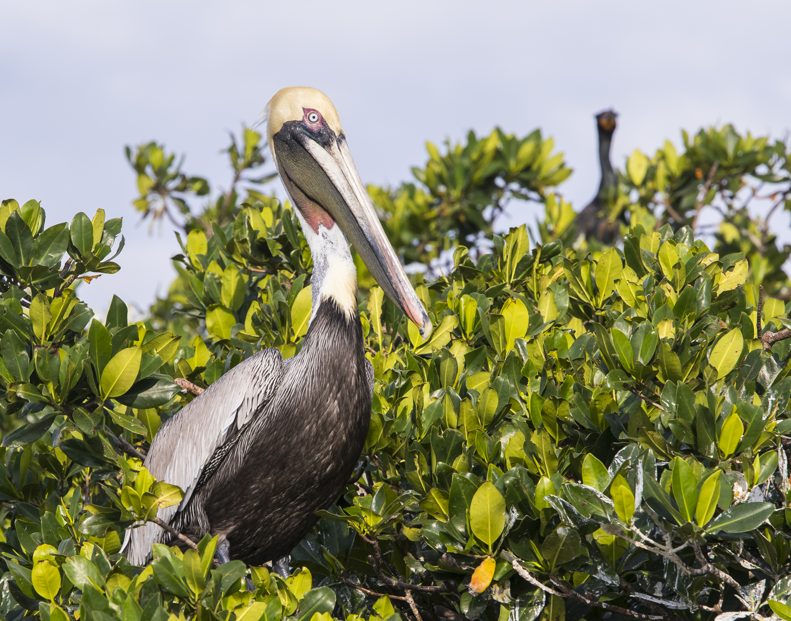 Brown pelican at roost