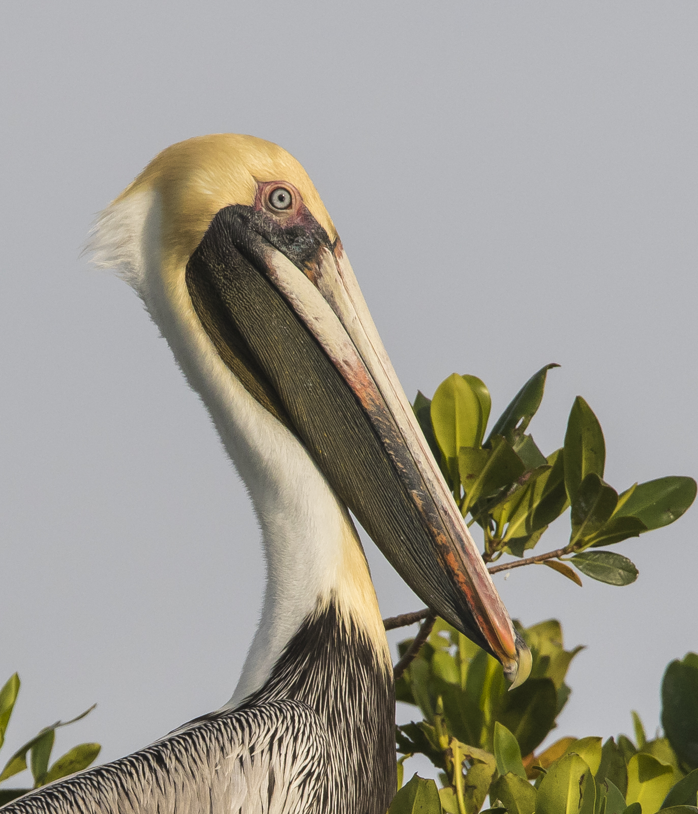 brown pelican head close up