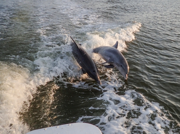 dolphins behind boat