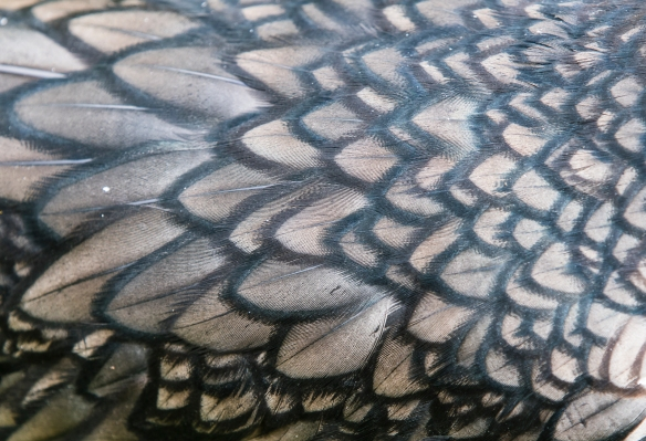 double-crested cormorant feathers