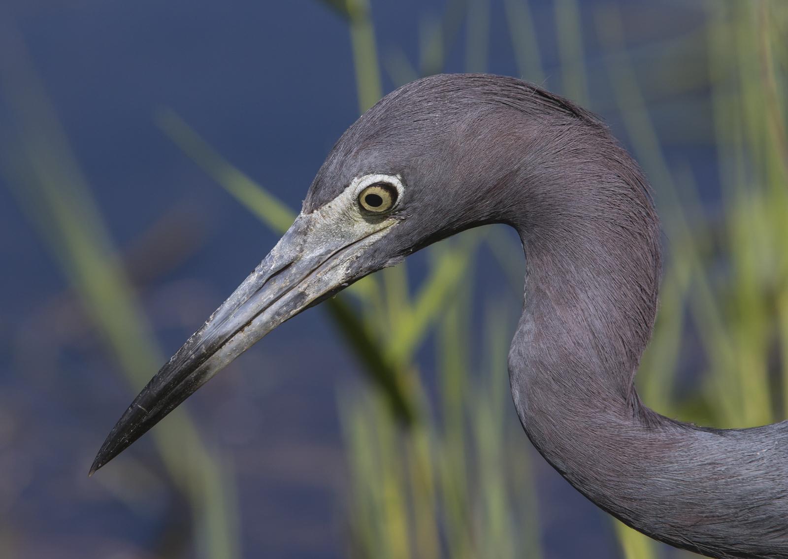 little blue heron head