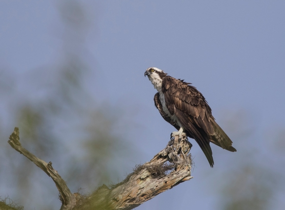 osprey on Turner River