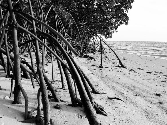 red mangrove on sandy beach