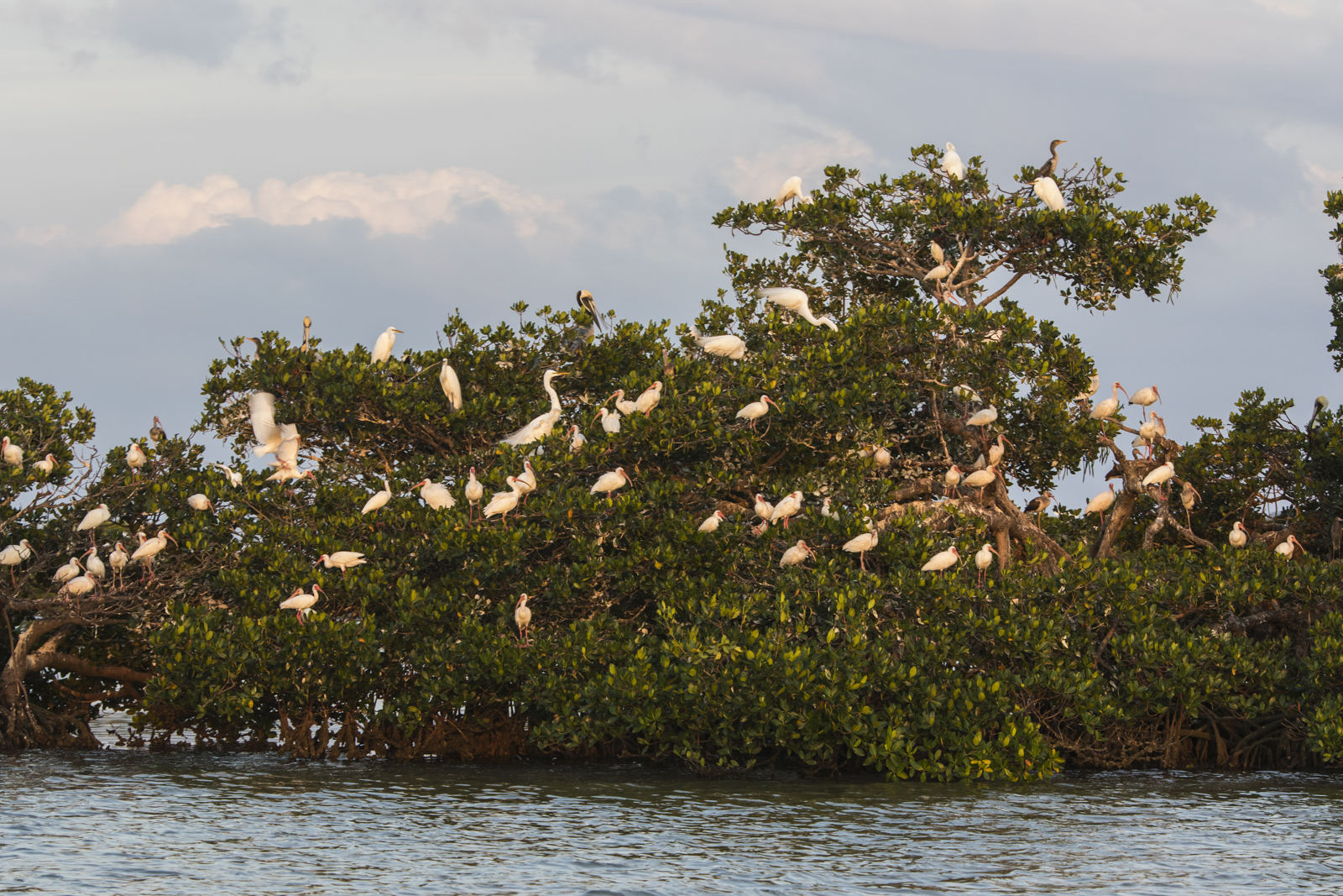 One of several mangrove islands filled with birds coming to roost at sunset