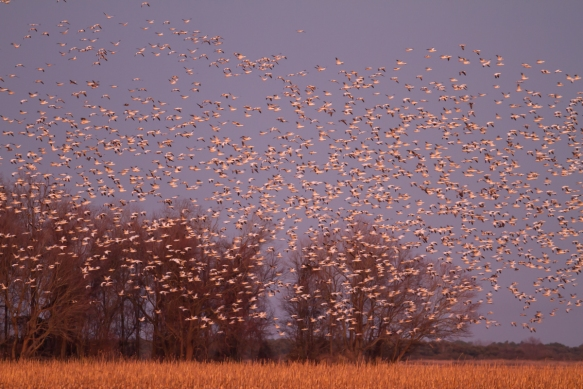 Snow Geese returning to lake