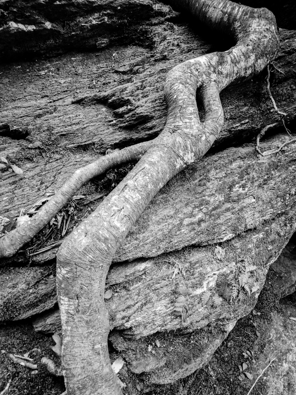 tree root on rock