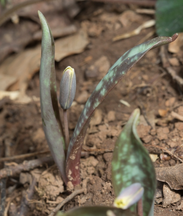 Trout lily flower bud